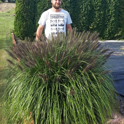 Rozplenica japońska 'Red Head' Pennisetum alopecuroides 'Red Head'